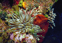 Giant sea anemone, Cayman Brac