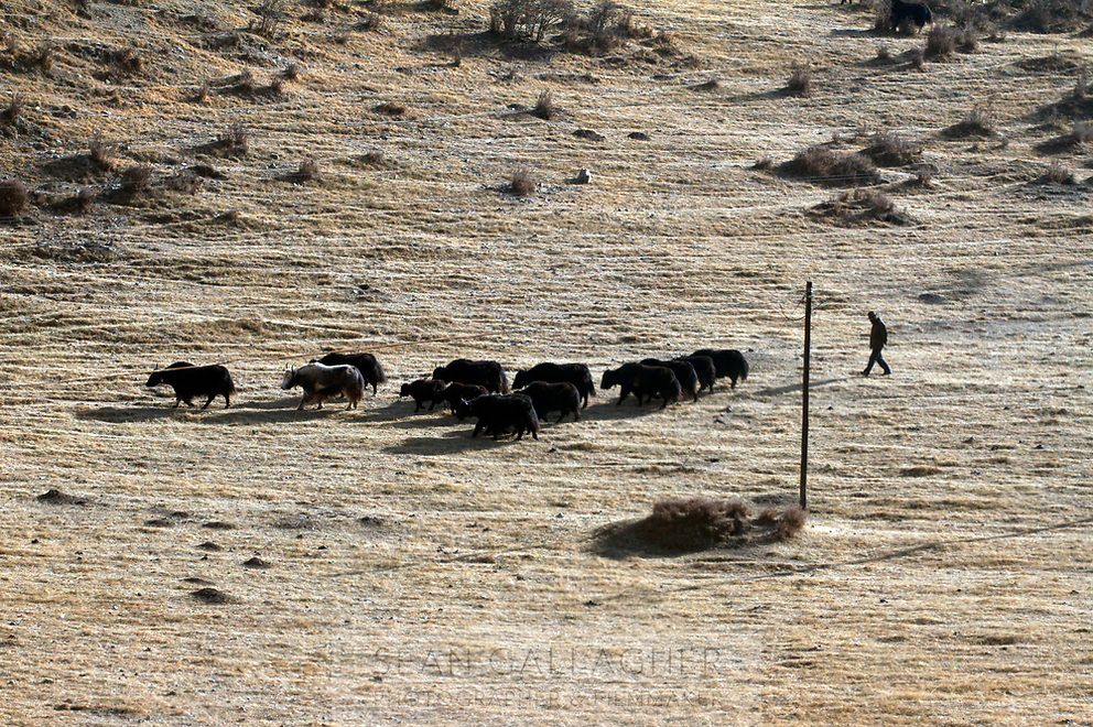 A Tibetan farmer herds his cattle on the Ganjia grasslands, near the town of Rebgong (Chinese name - Tongren) on the Qinghai-Tibetan Plateau. China.