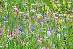 Numerous flower species flourishing in an ancient Alpine meadow. Nordtirol, Austrian Alps, Austria, June.