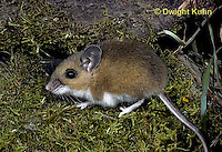 MU14-012z   White-Footed Mouse - Peromyscus leucopus