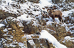 A rocky mountain bighorn sheep stands on a cliff in Yellowstone National Park, Wyoming.