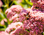A bee explores flowers outside the tasting room at Village Winery and Vineyards.