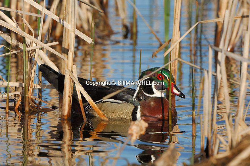 00360-090.02 Wood Duck (DIGITAL) drake is in cattail marsh typical of species.   Wetland, waterfowl, woodie.  H5R1