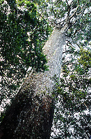 Kauri tree in Waitakere Ranges near Auckland - New Zealand