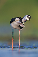 Black-necked Stilt, Himantopus mexicanus,adult preening, Lake Corpus Christi, Texas, USA