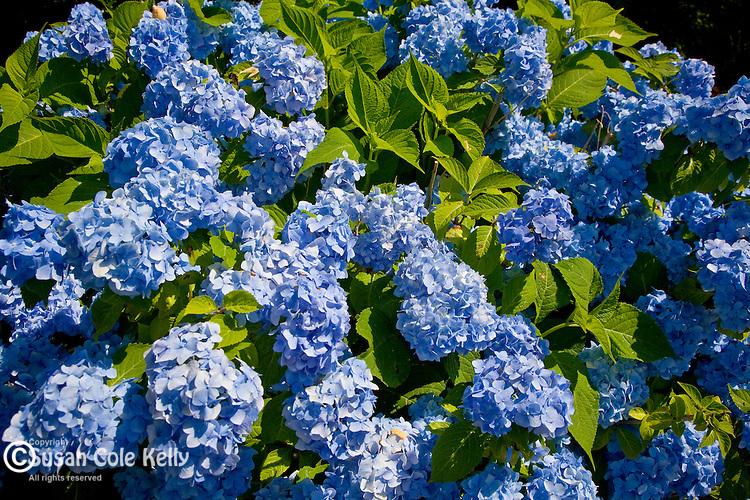 Blue Hydrangea in a summer garden, Sandwich, Cape Cod, MA, USA