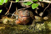 Krokodilschwanz-Höckerechse, Krokodilschwanz - Höckerechse, Shinisaurus crocodilurus aus Südchina, Chinese xenosaur, Chinese crocodile lizard