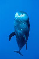 short-finned pilot whale Globicephala macrorhynchus Hawaii, Pacific Ocean