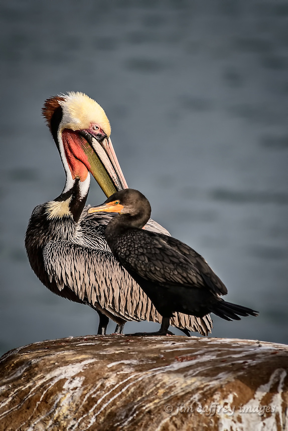 A Brown Pelican preens while a Double Breasted Cormorant poses at La Jolla Cove near San Diego, California.