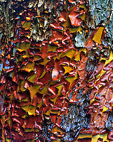 Bark on madrone tree in Yamhill County Oregon