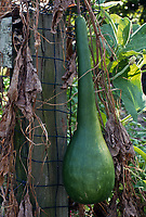 Lagenaria siceraria, long handled dipper gourd, hard shelled gourd vegetable vine