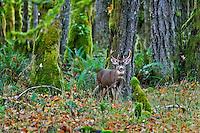 Coastal Black-tailed Deer buck or Columbian black-tail deer (Odocoileus hemionus) along edge of of the Olympic rainforest.  Pacific Northwest.  Fall.