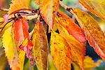 Weeping Cherry, Prunus subhirtella in late fall color.