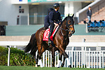 SHA TIN,HONG KONG-DECEMBER 08 : Staphanos,trained by Hideaki Fujiwara,exercises in preparation for the Hong Kong Cup at Sha Tin Racecourse on December 8,2017 in Sha Tin,New Territories,Hong Kong (Photo by Kaz Ishida/Eclipse Sportswire/Getty Images)
