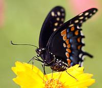 Black Swallowtail Butterfly sitting on yellow flower