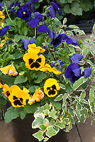 Viola (yellow with black mask, blue) flowers and Hedera English ivy in pot with herb Salvia officinalis Culinary sage in container garden plant combination