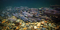 Pink or Humpback Salmon ( Oncorhynchus gorbuscha ) swim up a river on Vancouver Island to spawn, British Columbia, Canada.
