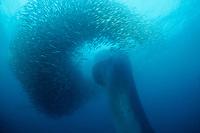 Bryde's whale, Balaenoptera edeni, plunging through a baitball of sardines, Sardinops sagax ocellatus, during Sardine Run off east coast of South Africa, Indian Ocean (#1 of 3)