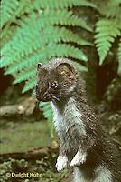 MA10-001z  Short-Tailed Weasel - ermine in brown summer coat - Mustela erminea