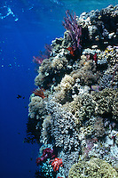 A colorful wall of coral decorates the edge of a coral reef , Republic of Palau, Micronesia.