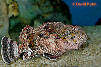 "0109-08rr  Spotted Scorpionfish ""Venomous Spines on Fish"" - Scorpaena plumieri  © David Kuhn/Dwight Kuhn Photography"