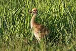 Sandhill crane colt in northern Wisconsin