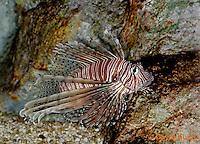 "0106-08pp  Red Volitan Lionfish ""Venomous Spines on Fish"" - Pterois volitans © David Kuhn/Dwight Kuhn Photography"