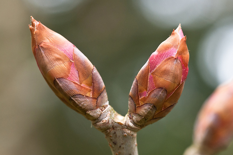 Buds of Aesculus glabra, commonly known as Ohio, American or fetid buckeye, early April.