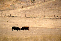 A fine art western landscape, a sepia silhouette, of two bulls facing off, head to head, barely separated, in a golden pasture on rural ranch land, with lines of fenceposts forming a sideways 'V' in the background along an upward-sloping hillside of dry, gold grasses.