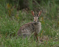 "Cottontail Rabbit with a kind of ""Bugs Bunny"" expression :)"