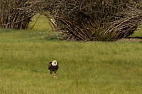 Bald Eagle, Timmerman Ranch, OR.