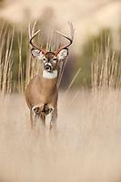 White-tailed Deer Buck (Odocoileus virginianus) in fall.