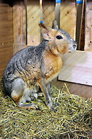 Patagonian Hare for sale at the Noah Inner City Zoo - a pet shop that sells exotic animals. The Noah Inner City Zoo is a pet shop that sells exotic animals. The 'zoo' claims to have more than 300 species for sale, many of which are rare and some are even endangered.