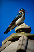 The bright blue colors of a tree swallow perched on top of a bird house feeder in a flower garden