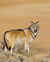Young wild gray wolf (Canis lupus)--about 6 months old.  Yellowstone National Park, fall.