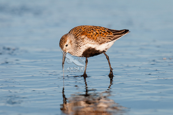 Dunlin (Calidris alpina) feeding along ocean beach, spring migration, Pacific Northwest Pacific Ocean coastline.  I believe this one is catching a marine worm.