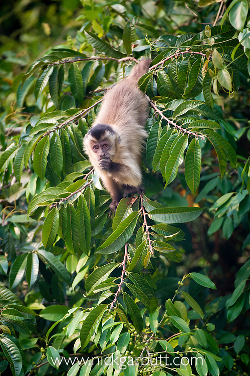 Black-striped Tufted Capuchin (Cebus libidinosus) in deciduous forest along the banks of the Pixiam River, Northern Pantanal, Brazil.