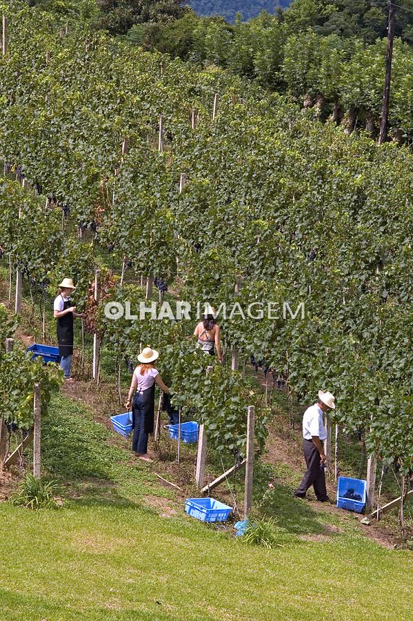 Turistas em colheita de uvas. Vale do Vinhedos. Bento Gonçalves. Rio Grande do Sul. 2007. Foto de Cris Berger.