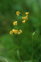 Gold-Hainsimse, Gelbe Hainsimse, Leuchtende Binse, Luzula lutea, Juncus luteus