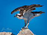 Ready to Launch and Lunch: Osprey at Lake Pleasant.  This magnificent raptor (a variety of hawk) was captured (photographically, of course) on a sunny day at a popular county park northwest of Phoenix, Arizona.  It was perched at the top of a small, rocky island, and was probably contemplating which species of fish it might grab for its midday meal.  Ospreys range throughout North America and are also found in South America.  Amazingly, they can log as many as 160,000 miles (260,000 km) migrating during their 15 to 20 year lifespan.<br /> <br /> Image ©2020 James D. Peterson