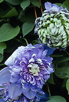 Clematis 'Blue Light', double blue flowers climbing vine