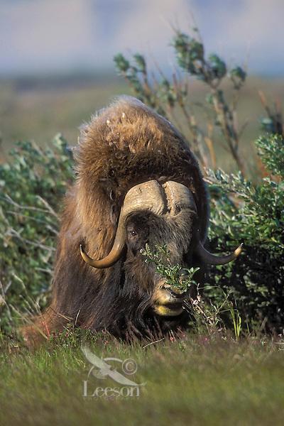 Muskox bull (Ovibos moscchatus) on summer tundra in Arctic National Wildlife Refuge, Alaska, U.S.A.