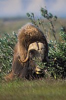 Muskox bull (Ovibos moscchatus) on summer tundra in Arctic National Wildlife Refuge, Alaska, U.S.A.