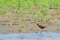 Northern jacana, Jacana spinosa, at the edge of a pond in Carara National Park, Costa Rica
