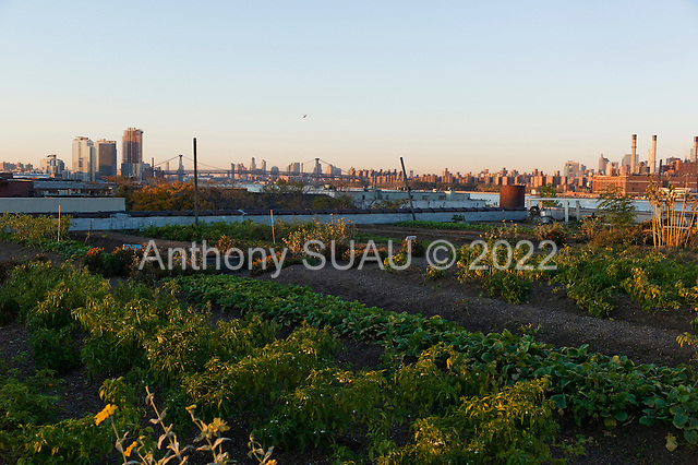 Brooklyn, New York<br /> October 21, 2013<br />  <br /> Annie Novak, co-founder and director of Eagle Street Rooftop Farm in Brooklyn where she grows organic vegetables and keeps bunnies.
