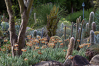 Cotyledon orbiculata var. oblonga 'Flavida' flowering succulent in Taft Gardens; Ojai, California