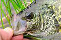 00247-011.08 Black Crappie caught small bead head fly is displayed close-up.  Fish, fishing, lake, river, water.