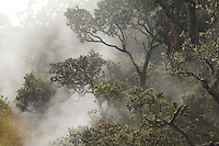 Ohia lehua tree emerging from the fog at Hawaii Volcanoes National Park on the Big Island of Hawaii
