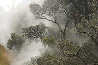 Ohia lehua tree emerging from the fog at Hawaii Volcanoes National Park on the Big Island of Hawaii