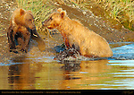 Alaskan Coastal Brown Bear, Golden Female Teaching Cubs to Fish, Silver Salmon Creek, Lake Clark National Park, Alaska